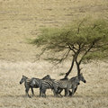 Zebra in the Serengeti, Tanzania Stock Photography