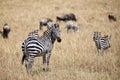 Zebra in the shroud Royalty Free Stock Photo