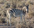 Zebra side view of single Royalty Free Stock Photography