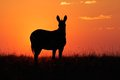 Zebra silhouette cape mountain equus silhouetted against a red sunrise south africa Stock Photos