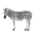 Zebra silhouette Royalty Free Stock Photo