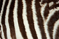 Zebra skin close up view of the of a plains burchells equus quagga Royalty Free Stock Image