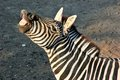 Zebra smile in the zoo Royalty Free Stock Photo