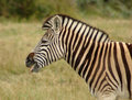 Zebra in South Africa Royalty Free Stock Photo