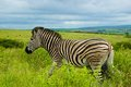 Zebra, South Africa Royalty Free Stock Photo