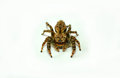 Zebra spider Royalty Free Stock Photo