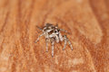 Zebra spider jumping salticus scenicus Stock Photography