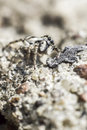 The zebra spider salticus scenicus is a common jumping like other jumping spiders it does not build a web it uses its four Stock Photos