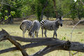 Zebra stallion the burchells busy rounding up his mares Royalty Free Stock Photo