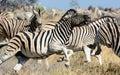 Zebra stallion causing havoc chasing and mayhem Stock Photography
