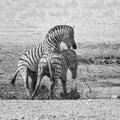 Zebra Stallions Fighting Royalty Free Stock Photo
