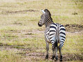 A zebra standing alone Royalty Free Stock Photo