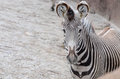 Zebra stare an adult grevys looks into the camera Royalty Free Stock Photography