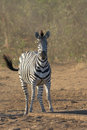 Zebra staring at waterhole very nervous stare in kruger national park Royalty Free Stock Photo