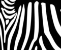 Zebra stripe pattern Royalty Free Stock Images
