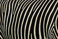 Zebra stripes Stock Photography