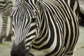 Zebra stripes Stock Images