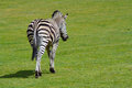 Zebra a stunning walking in a field Stock Image