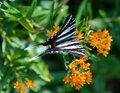 Zebra swallowtail butterfly Royalty Free Stock Photo