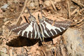 A zebra swallowtail butterfly on ground Royalty Free Stock Photo