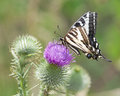 Zebra Swallowtail Butterfly Sunbathing on a Thistle Royalty Free Stock Photo