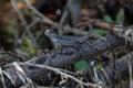 Zebra-tailed Lizard, Tavernier, Key Largo, Florida Royalty Free Stock Photo