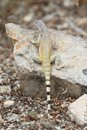 Zebra-tailed Lizard (Callisaurus draconoides) Royalty Free Stock Photo