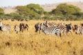 Zebra in tanzania zebras eating the great plains of serengeti africa Stock Photos
