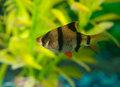 Zebra tetra fish small aquarium the is a fun to keep with green plant background Royalty Free Stock Photos