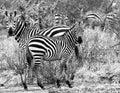 Zebra In Tsavo national park Kenya East Africa Black And White