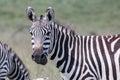 Zebra Turned Head Royalty Free Stock Photo
