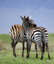 Zebra-Umarmung Lizenzfreie Stockbilder