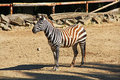 Zebra view of in zoo Royalty Free Stock Image