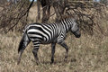Zebra walking in the serengeti national park tanzania africa Royalty Free Stock Image