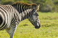 Zebra walking single one its own in the morning sunshine Stock Photos