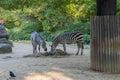 Zebra walking in the zoo Stock Image
