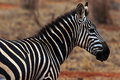 A Zebra Watching Royalty Free Stock Photo