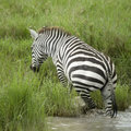 Zebra in the water Stock Photo