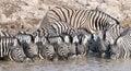 Zebra at a waterhole. Royalty Free Stock Photo