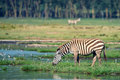 Zebra at watering place is feeding near the lake in african savannah Stock Photos
