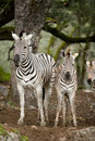 Zebra in the wild Stock Image