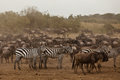 Zebra and wildebeest Royalty Free Stock Photo