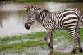 Zebra young walks near the river Stock Image