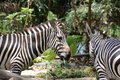 Zebra zebras in singapore zoo Stock Photos