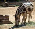 Zebra in a zoo eating hay Stock Photo