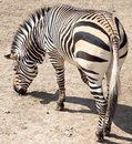 Zebra in the zoo Royalty Free Stock Photo