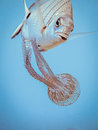 Zebrabream with an apetite for medusa aproching a jellyfish to eat it Royalty Free Stock Images