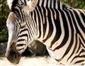 Zebragesicht Stockfotografie
