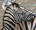 Zebras African equids Royalty Free Stock Photo