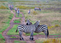 Zebras in afrikaanse savanne Royalty-vrije Stock Foto